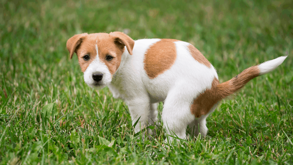 Stop a Dog From Peeing in the House - potty training