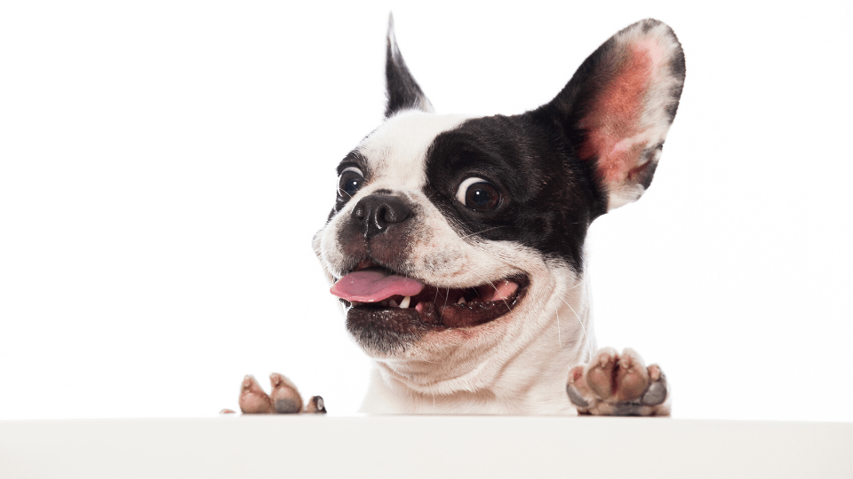 Best Training Treats For French Bulldogs