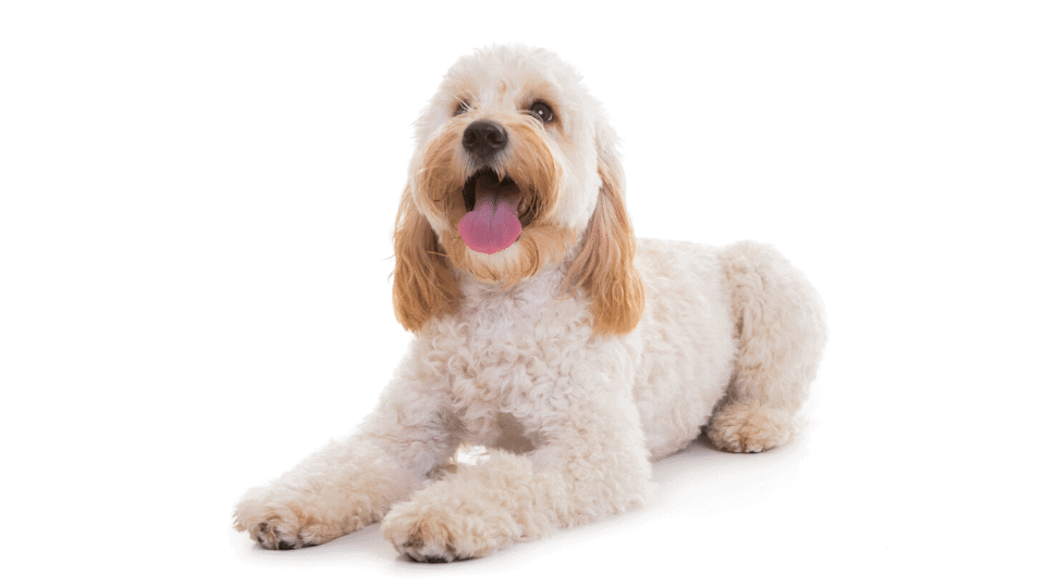 Cockapoo Dog Name Ideas3