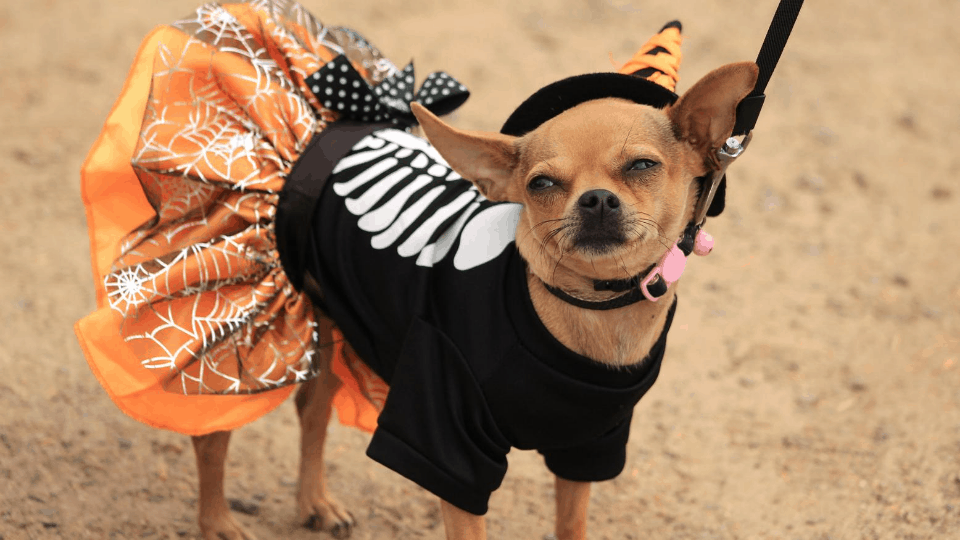 small dog funny costume