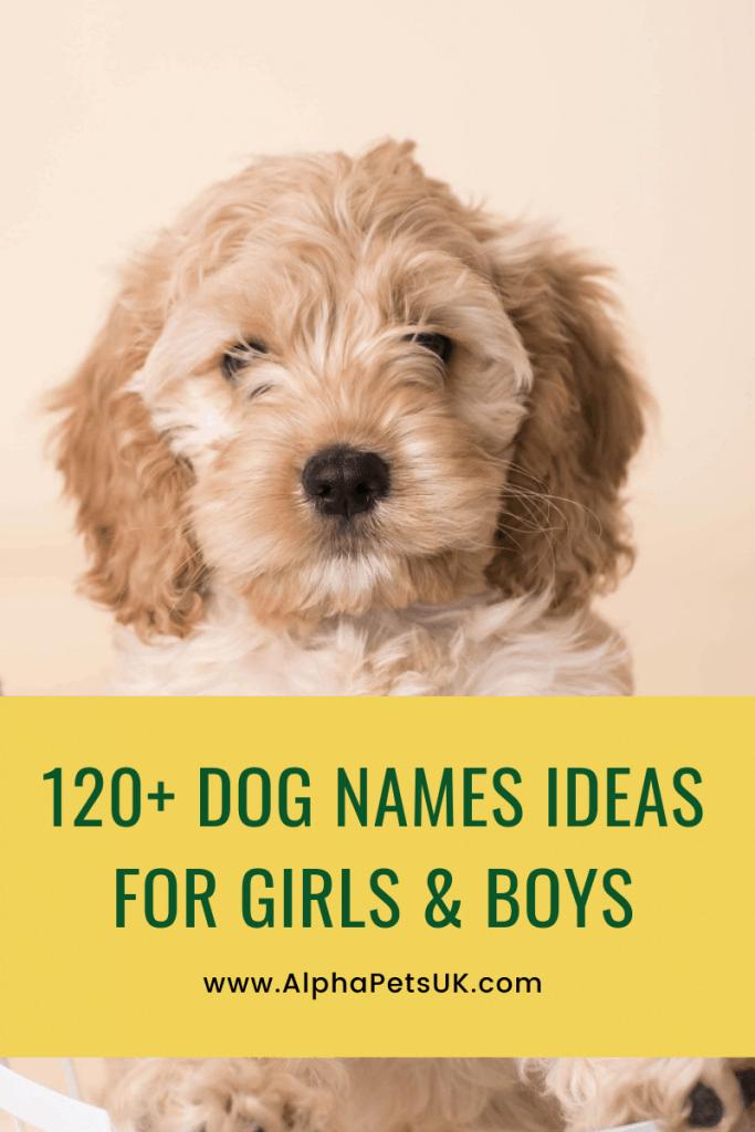 104 Cockapoo Names Popular Dog Names For Cocker Spaniels Alpha Pets Uk