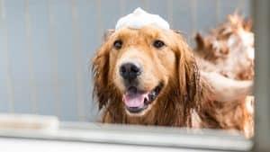 dog shampoo for shedding labradors