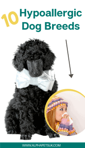 best dog breeds that are hypoallergenic